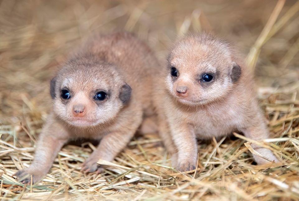 Bebés suricato
