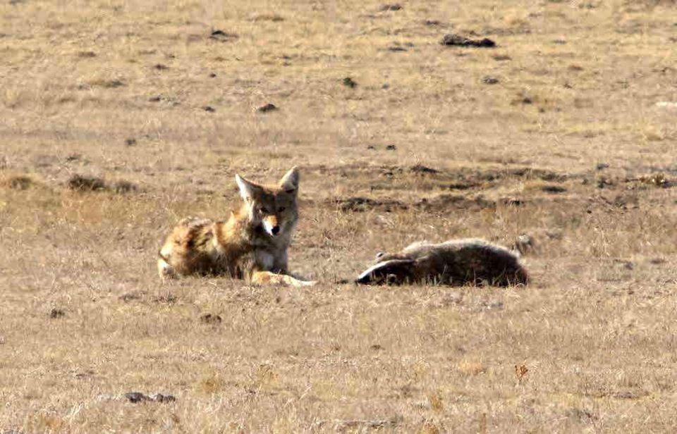 Amistad entre coyote y tejón