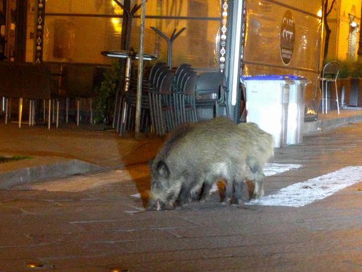 Animales invaden las calles de italia