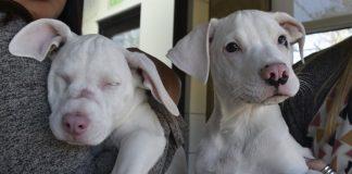 Cachorra ciega y su perro guía buscan un hogar juntos
