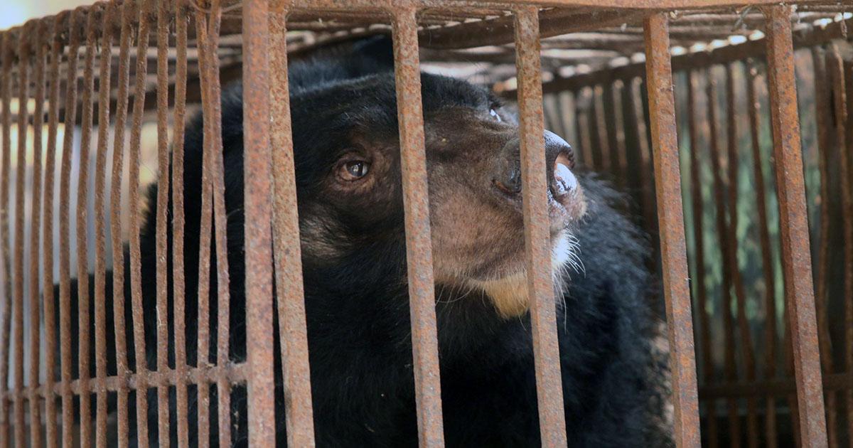 China promueve la bilis de oso como tratamiento para el coronavirus