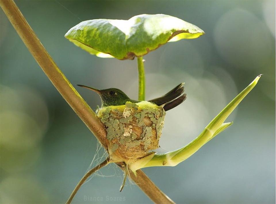 Colibrí en su nido con techo
