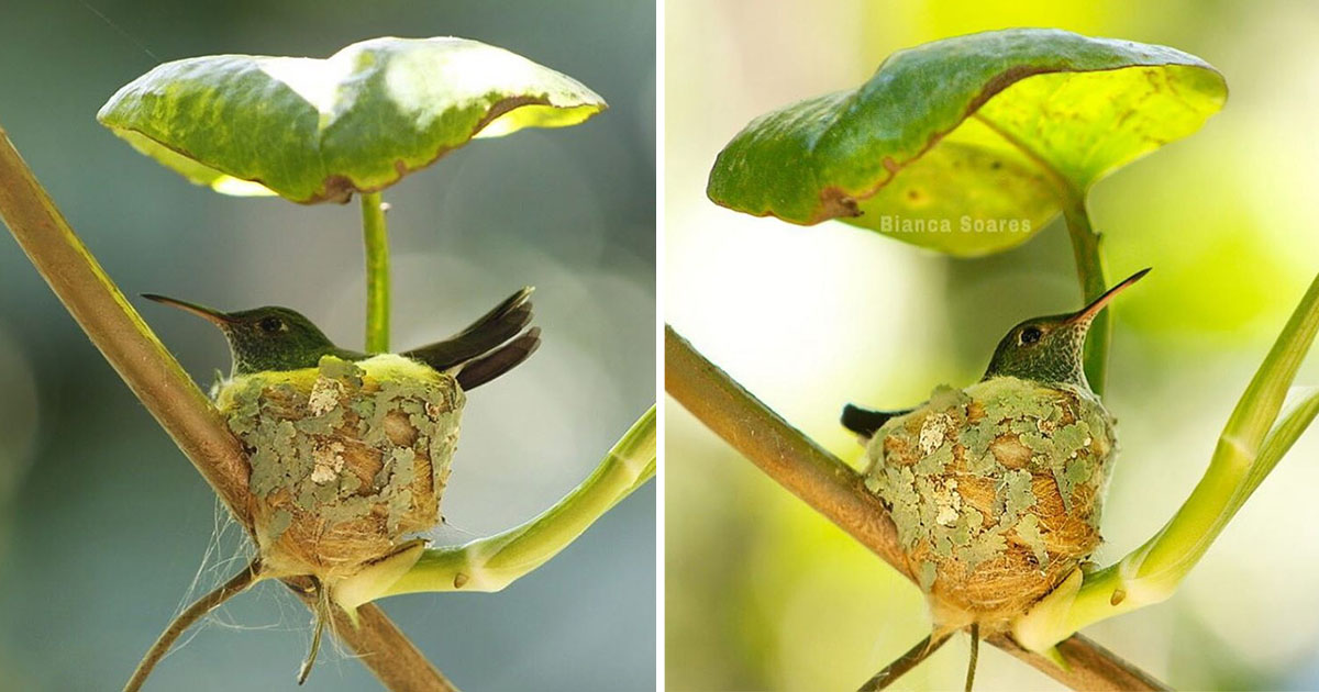 Colibrí inteligente construye su nido con techo