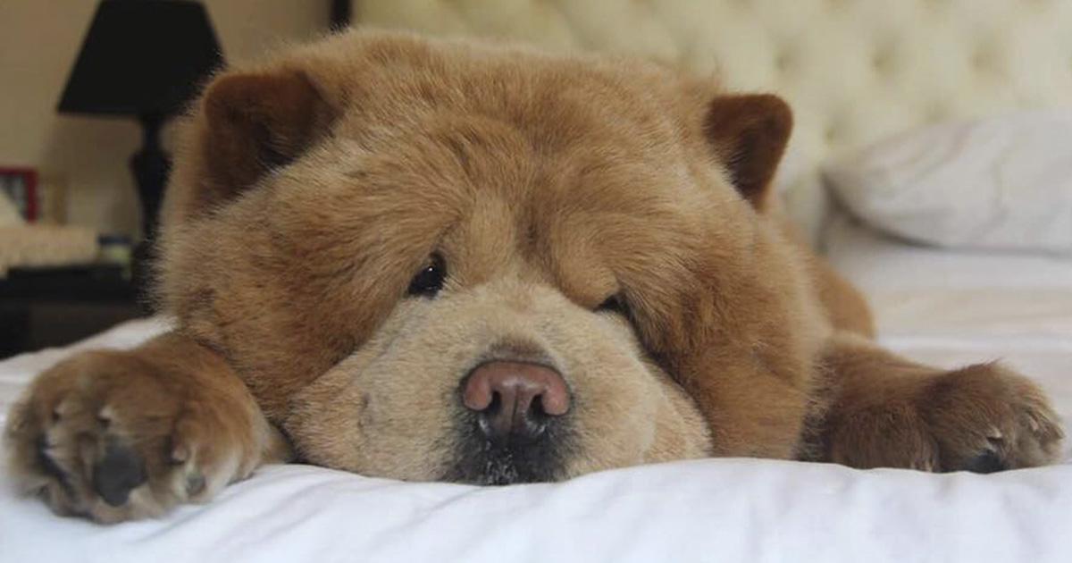 Conoce a Chowder, el Chow Chow que parece un oso de peluche gigante