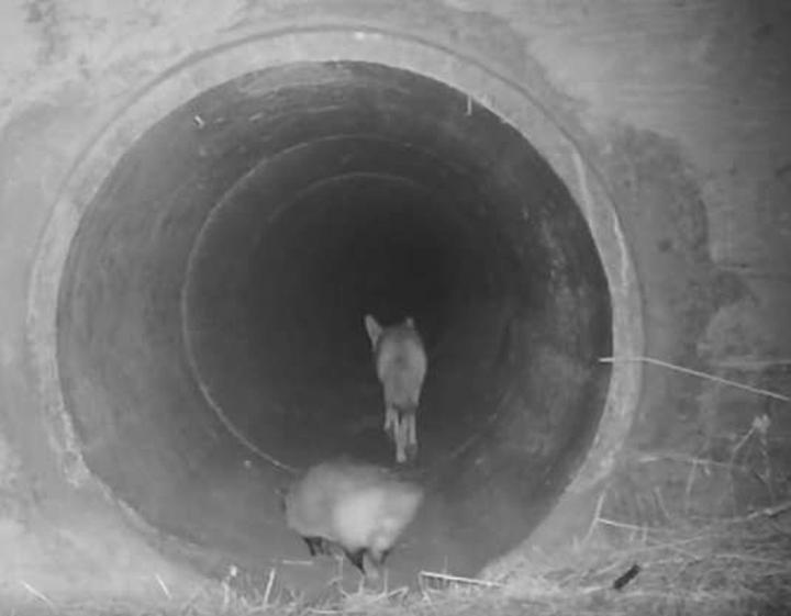 Coyote y su amigo tejón