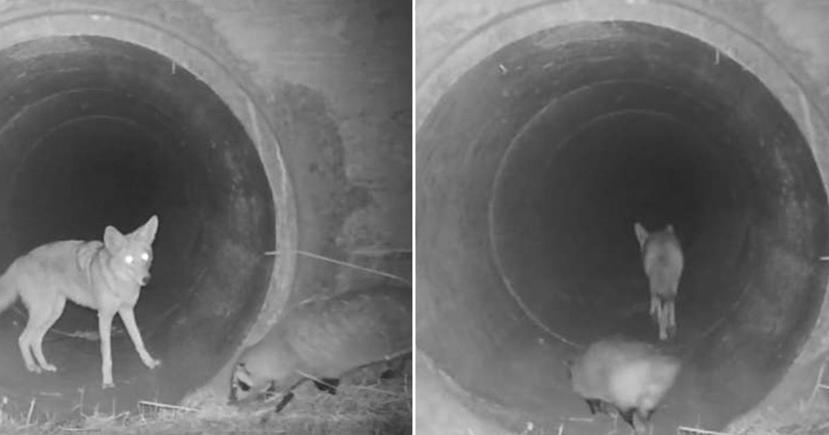 Coyote y tejón fueron grabados por cámaras viajando juntos