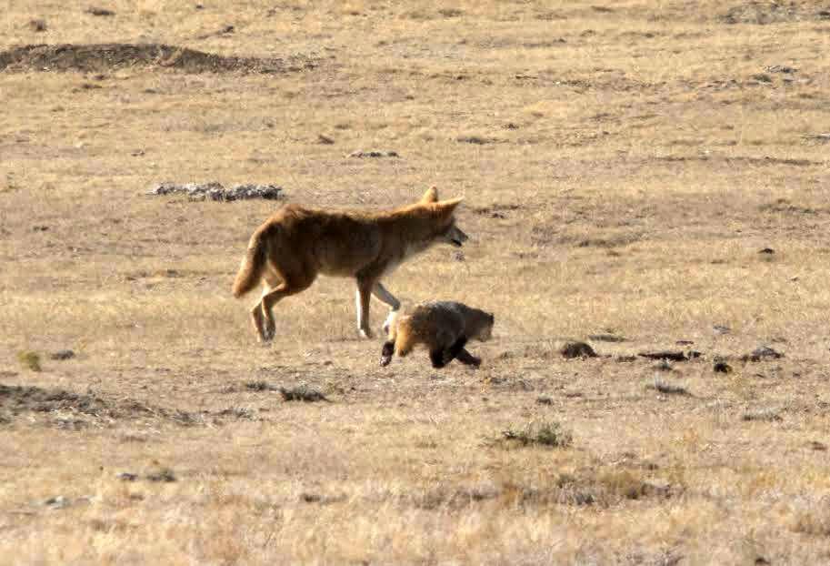 Coyote y tejón en los campos