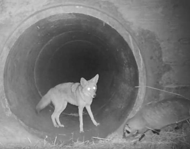 Coyote y tejón viajan juntos