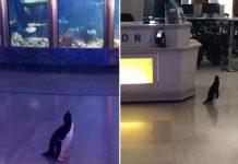 Acuario permite a sus pingüinos salir de excursión