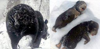 Dos oseznos mueren después que leñadores despertaran a su madre oso