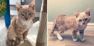 Gato con enanismo se quedará como un gatito para siempre