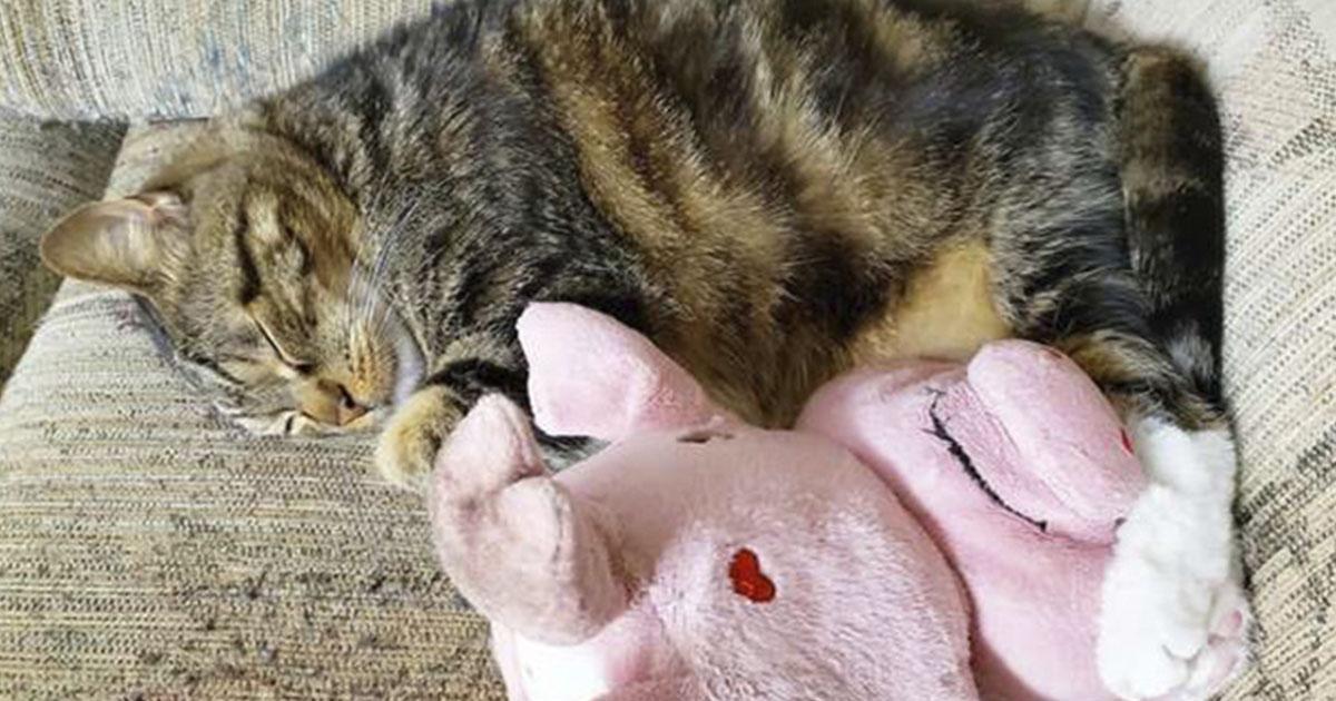 Gato lleva su cerdo de peluche favorito a donde quiera que vaya