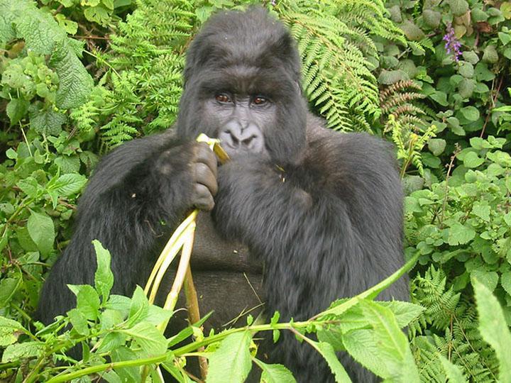 gorila comiendo plátano en la selva
