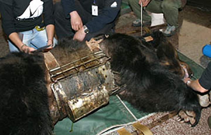 Granjas de osos para bilis