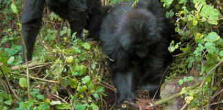 Jóvenes gorilas desmantelan trampa de cazadores