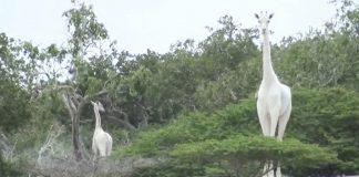 La única jirafa blanca y su cría son asesinadas por cazadores furtivos