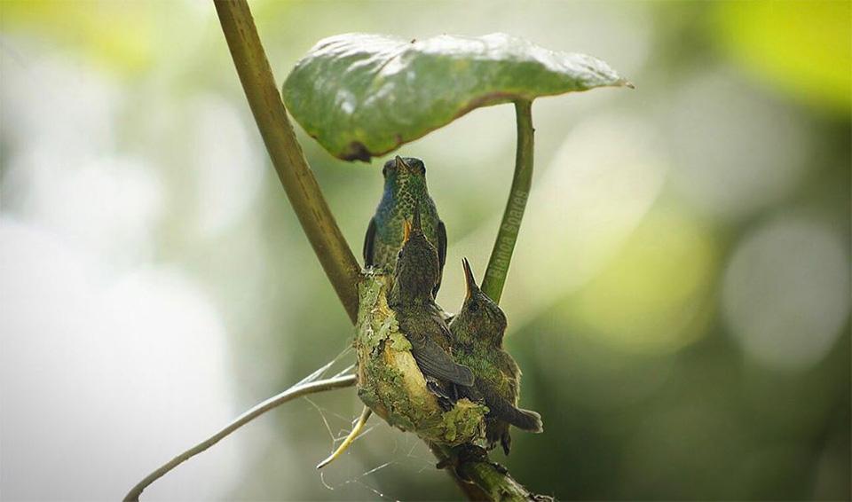 Madre colibrí y polluelos