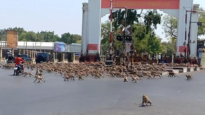 Monos buscando comida en la ciudad