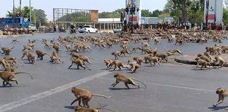 Monos hambrientos en Tailandia se pelean por conseguir comida