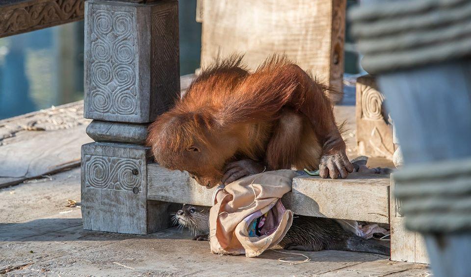 Orangután jugando con nutria en zoológico