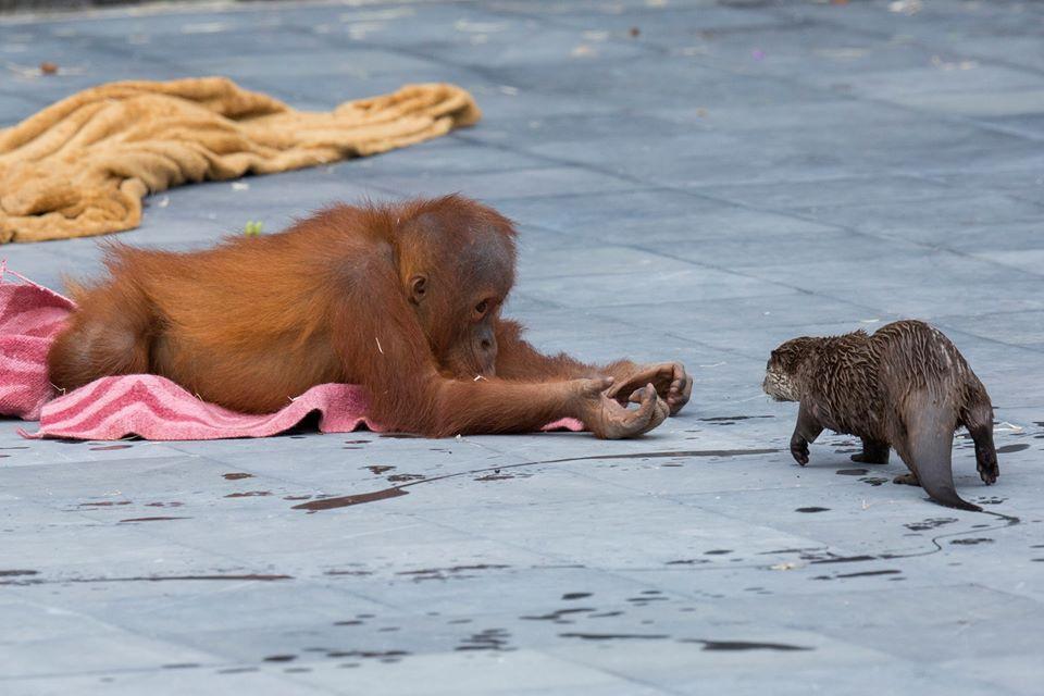 Orangután y nutria