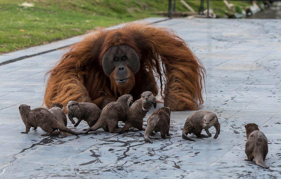 Orangutanes y nutrias en zoológico