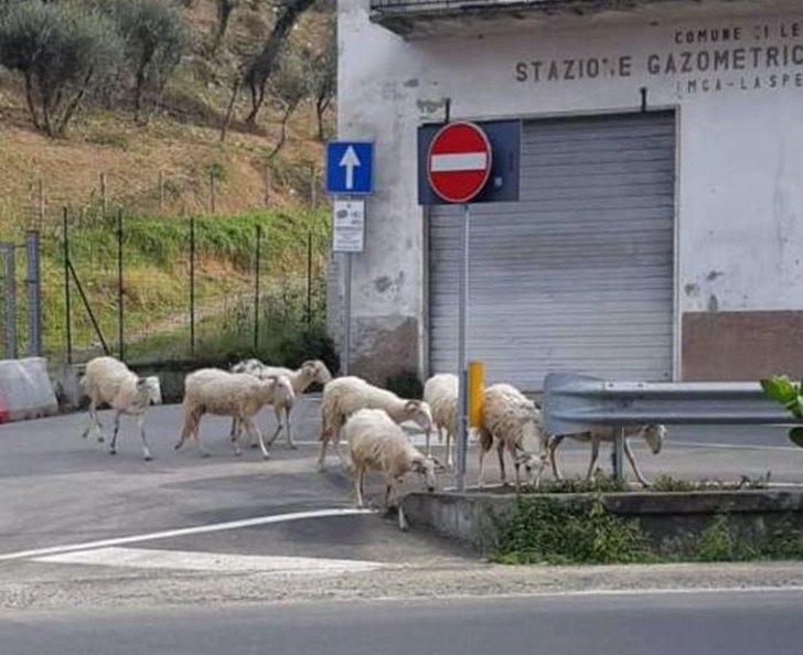 Ovejas en calles de Italia