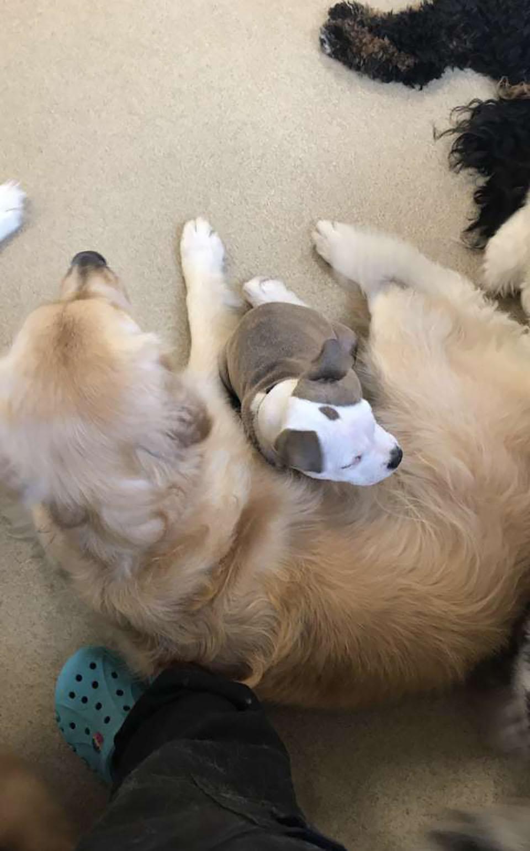 Perrita duerme sobre perro