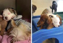 Perrita se hace amiga de los perros más esponjosos para tomar su siesta