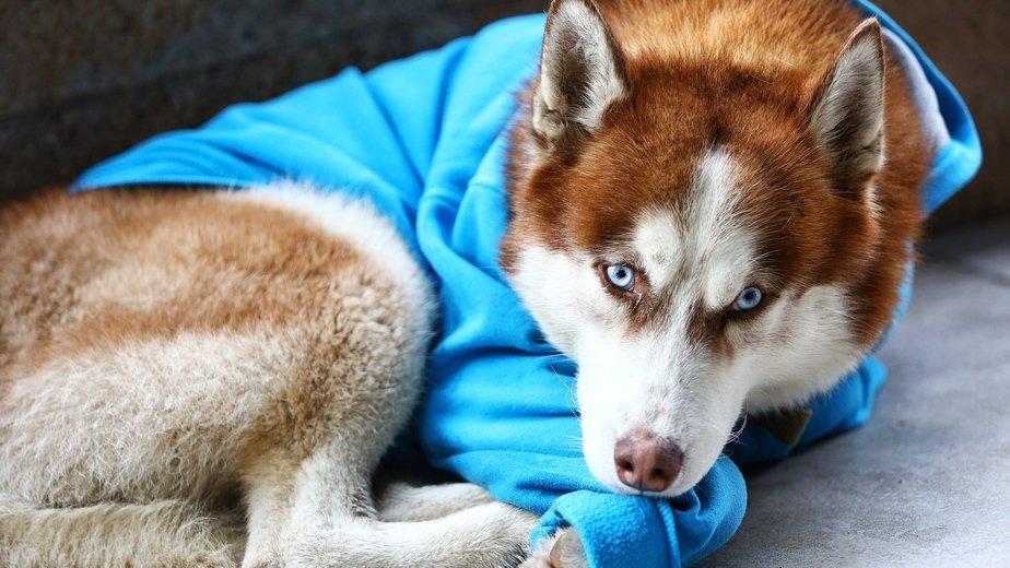 Perro husky esperando