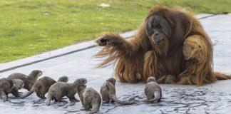 Zoológico comparte adorables fotos de orangutanes jugando con nutrias