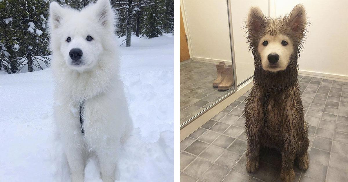 Cachorro de Samoyedo