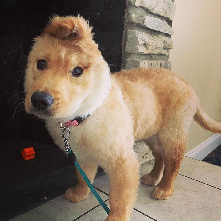 cachorro de golden con oreja en el medio de la cabeza