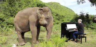 Elefante ciego y pianista en santuario