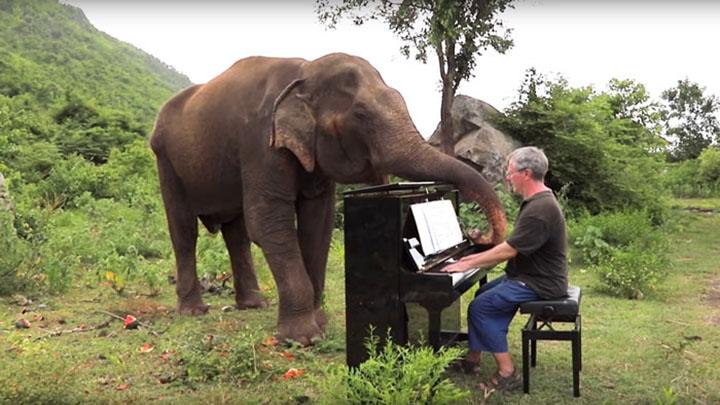 Elefante juega con pianista