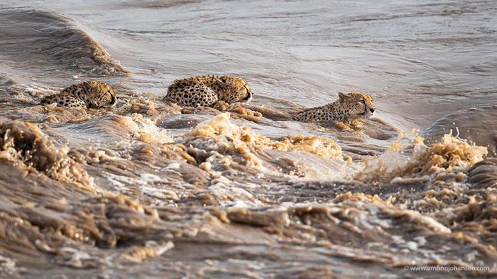 familia de gueopardos cruzan el rió