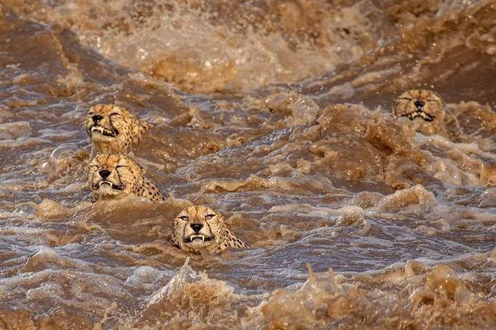 familia de gueopardos cruzando el rió