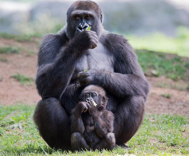gorila y su bebé en la selva
