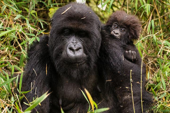 gorila y su pequeño a su espalda