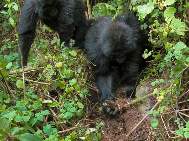 gorilas desmantelan trampas