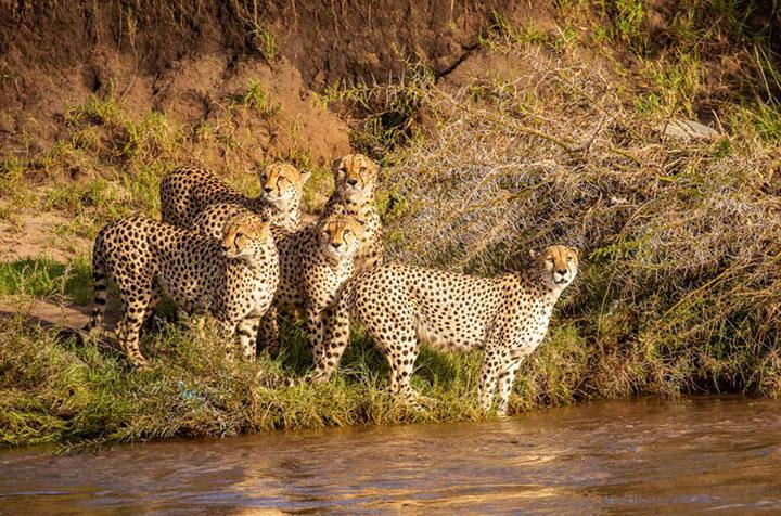 guepardos a punto de cruzar el rio