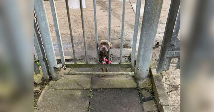 perro atado fuera de un refugio espera ser encontrado