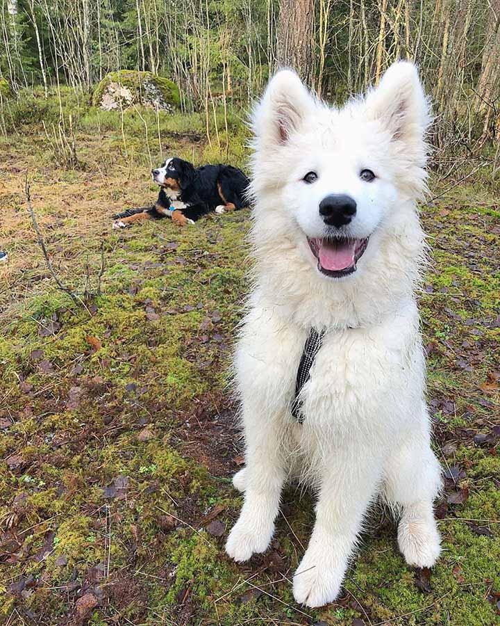 Samoyedo en el campo