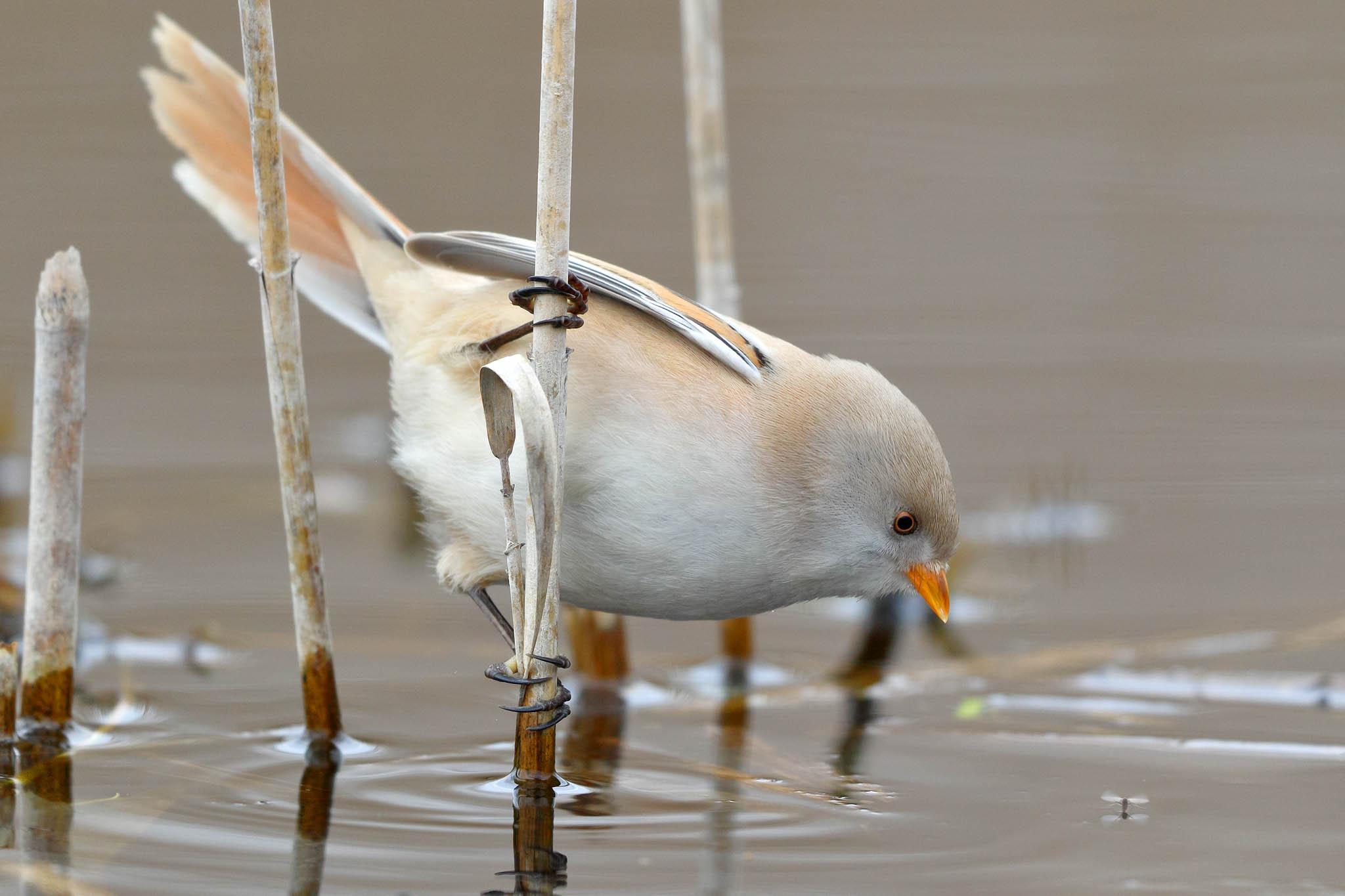 Hermosa ave redonda tomando agua