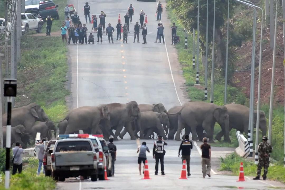 50 elefantes cruzando una carretera