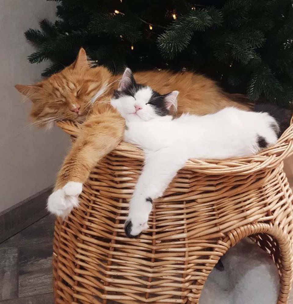 Adorables gatos duermen juntos