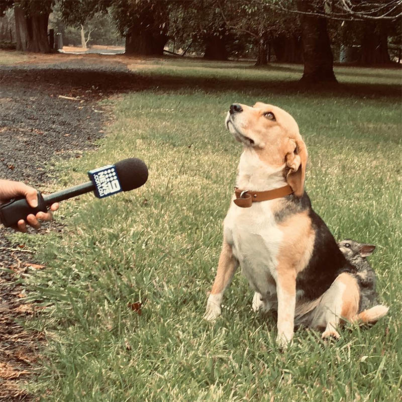 Beagle forma amistad con zarigüeya