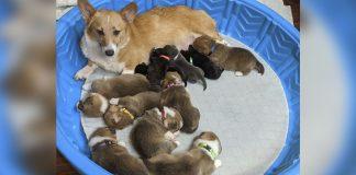 Corgi adopta a cachorros pitbull huerfanos