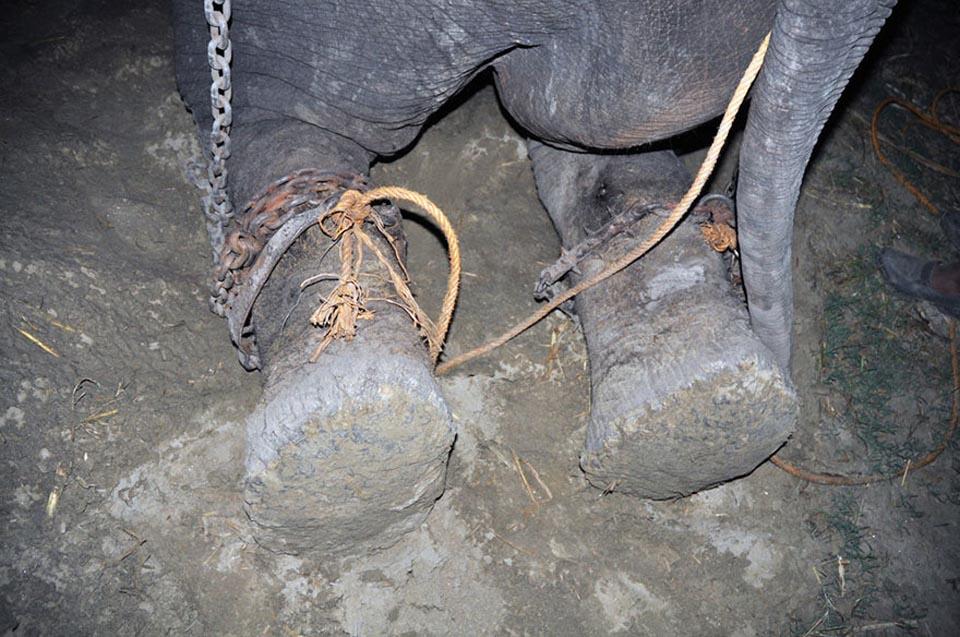Elefante con sus patas encadenadas
