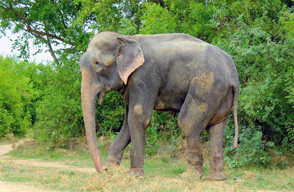 Elefante libre después de ser encadenado por varios años